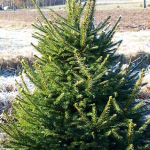 Jõulukuusk kasvatuse pikkus 0 -1