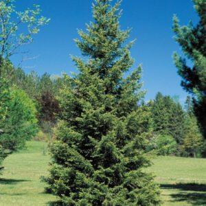 Jõulukuusk looduslik pikkus E 2